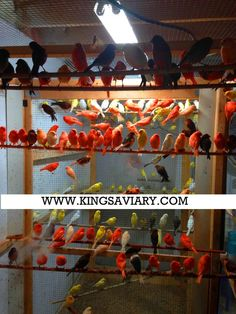 ****canaries , European Goldfinches & Mules -cage Raised Birds ****** in Troy, Michigan - Hoobly Classifieds Finch Bird House, Troy Michigan, Canary Birds, High Maintenance, Goldfinch, Getting Bored, Parrot, Explore, Beautiful