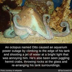 An octopus named Otto caused an aquarium power outage by climbing to the edge of his tank and shooting a jet of water at a bright light that was annoying him. He's also been seen juggling hermit. Funny Shit, Funny Memes, Funny Stuff, Funny Things, Random Stuff, Hilarious Sayings, 9gag Funny, Memes Humor, Animal Facts