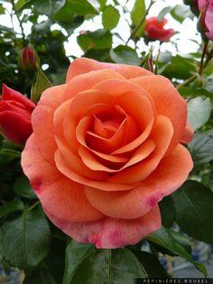 Floribunda Rose 'Aprikola', Kordes  http://www.pepinieres-rouxel.fr/plante/index/famille-rosaceae/genre-rosa/cultivar-kororbe/rosa-kororbe