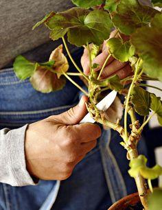 Kotivinkki perlargonien lisääminen pistokkaista