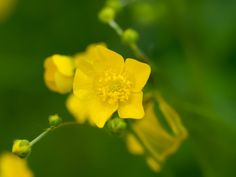 Chalices of gold. - Creeping buttercups bright in the sunshine and the dew.