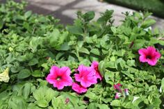 Petunia Surfinia 'Crazy Pink' - Great for hanging basket and containers. Give the Clonakilty effect, lots of colour all summer long! Colorful Garden, Hanging Baskets, Petunias, Garden Furniture, Cork, Colour, Interior, Plants, Summer