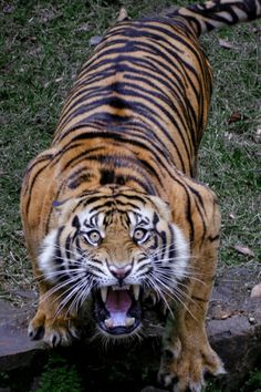 robert-dcosta: Harimau Sumatra Tiger (Robert Cinega) || RD ||