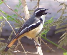 White-throated Robin-Chat (Cossypha humeralis). It is found in Botswana, Mozambique, South Africa, Swaziland, and Zimbabwe. Its natural habitats are dry savanna and subtropical or tropical dry shrubland.