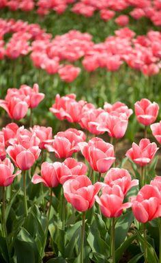 tulip festival #3 by C.K. Tse