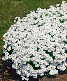 Candytuft (Iberis Sempervirens) is incredibly floriferous. Rewarding spring flowering plant with a creeping habit. It flowers in great abundance covering the ground with a carpet of white flower clusters. Stays green during winter. The best effect is obtained by planting Candytuft as an edging or in the rockery.