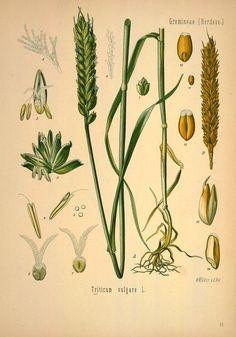Köhler's Medizinal-Pflanzen in naturgetreuen Abbildungen mit kurz erläuterndem Texte , volume 2, 1883, Peter H Raven Library via BHL
