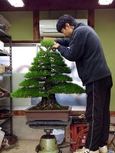 Stunning pine, perfect example of a formal upright (Chokkan) bonsai tree. Photo by: Owen Reich