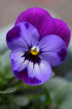 This month's Garden Flowers post features violas. Now that autumn is here in the UK, violas are the perfect antidote to add a pop of colour to our fading gardens. Colorful Flowers, Purple Flowers, Beautiful Flowers, Edible Flowers, Pretty Flower Pictures, Winter Flowers, Rose Flowers, Small Flowers, Paper Flowers