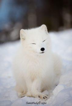 Satisfied by Cecilie Sønsteby on 500px Known as the white fox, arctic fox, or polar fox