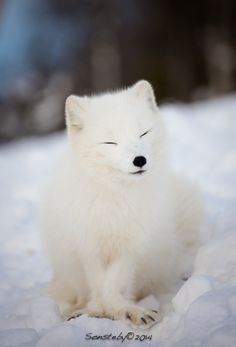 Satisfied by Cecilie Sønsteby on 500px Known as the white fox, arctic fox, or polar fox