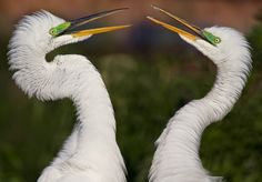 TOUCH this image: Great Egrets Courting Photograph by Scott Bourne by Scott Bourne