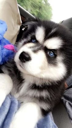 Big Dogs, Cute Dogs, Wolfdog, Husky, Pup, Creatures, Animals, Animales, Dog Baby