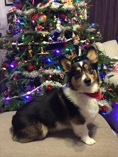 2324 Best Fluffy corgis images in 2019   Corgi, Corgi dog