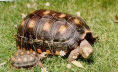 redfoot tortoises