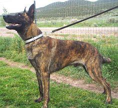 Male Dutch sheperd puppy