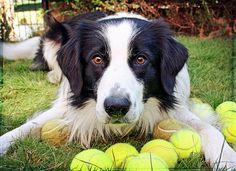 Ball Border Collie