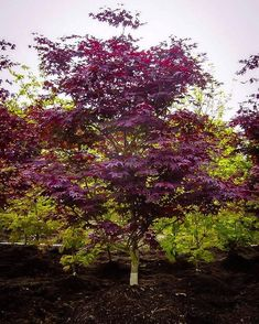 Shop Japanese Maple Trees, available online in all colors and sizes. We carry the most popular Japanese Maple varieties, and only stock top quality trees. Deciduous Trees, Trees And Shrubs, Dwarf Trees, Japenese Maple, Pruning Japanese Maples, Japanese Maple Varieties, Bloodgood Japanese Maple, Red Leaves, Maple Leaves