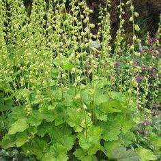 Tellima grandiflora - Tellime à grande fleur