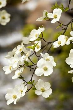 The dogwood tree.  I have this beautiful tree in my backyard.  I just found out what it was and now love it all the more.