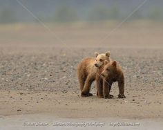 Bear cubs snuggle on beach - Shetzers Photography Bear Images, Bear Pictures, Cool Pictures, Grizzly Bear Cub, Bear Cubs, Baby Bears, Little Brown, Brown Bear, Snuggles