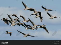 Just sold @ Bigstock: Greylag geese in flight http://www.bigstockphoto.com/image-148104593/