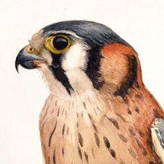 American Kestrel- watercolor