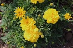 Marigolds a type of flower that the Vietnamese grow during Tet to decorate their homes.