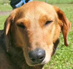 Benny is an adoptable Hound Dog in Chipley, FL. Benny is a 2 to 3 year old neutered male hound cross, about 30 to 35 pounds. He is a very well behaved boy, good on a leash, very friendly and calm. He ...
