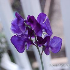 Sweet Peas are a fantastically fragrant flower to add to your cottage garden. Come see how to grow Sweet Peas successfully! Flower Patch, Flower Beds, Cattle Panel Trellis, Growing Sweet Peas, Sweet Pea Seeds, Sweet Pea Flowers, Liquid Fertilizer, Garden Guide, Potting Soil