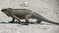 lago enriquillo Iguana