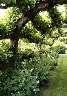 Espalier apple tree