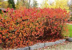 Koristearonia Shrubs, Perennials, Patio, Garden, Flowers, Nature, Plants, Red, Travel
