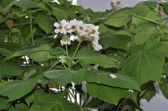 Sparmannia Africana             Cape Stock-rose/African Hemp             Kaapse Stokroos         7 m       S A no 457