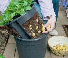 Plante batatas em vasos | Jardim das Ideias STIHL - Dicas de jardinagem e paisagismo