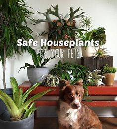 Indoor Gardening 10 favorite pet-friendly house plants - Pet-safe indoor plants are essential to the health of your dog or cat. Here's our top 10 pet-safe indoor plants to keep your homes green and pets happy! Living Room Plants, House Plants Decor, Plant Decor, Cat Safe House Plants, Indoor Pets, Best Indoor Plants, Ikebana, Cat Plants, Ocicat