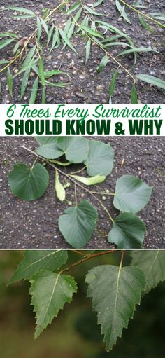 6 Trees Every Survivalist Should Know & Why — Being a prepper/survivalist is a great lifestyle. I am loving it and haven't looked back. There is always new information to be learned and this article is proof of that for me.
