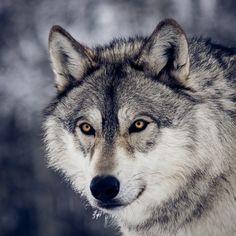 """Voor het personage van wolf kwam ik uit bij het bedrijf """"Instinct for film"""". Deze groep traint dieren, waaronder wolven, om bepaalde scenes te spelen en zouden dus geschikt zijn om het 'hongerige' zichtbaar te doen voorkomen in de wolf zonder de acteurs in gevaar te brengen."""