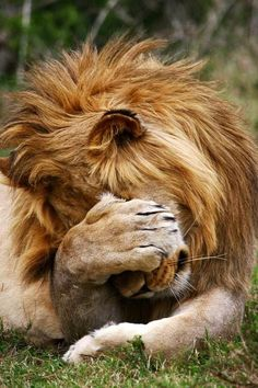 #lion The picard face palm catches on.