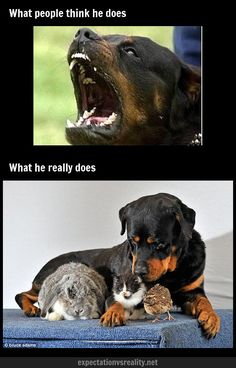 Image detail for -Neighbor& Rottweiler Big Dogs, I Love Dogs, Cute Dogs, Dogs And Puppies, Chihuahua Dogs, Doggies, Amor Animal, Mundo Animal, Beautiful Dogs