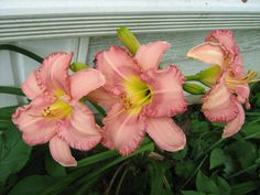 Lilies Lilies, Yard, My Favorite Things, Flowers, Plants, Irises, Patio, Orchids, Yards