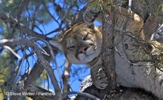 Cougars - Teton and California Cougar Projects.  PANTHERA     These data provide Panthera an understanding of cougar population dynamics, habitat selection, and cougar interactions with competing carnivores necessary for our long-term cougar conservation programs.  http://www.panthera.org/species/cougar