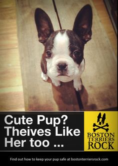 apparently dognapping is on the rise and the boston terrier is number 4 on the most stolen list