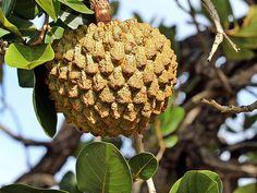 Araticum-do-cerrado (Annona crassiflora)