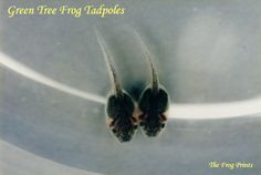 Caring for tadpoles - how to prepare lettuce Tadpole To Frog, Reptiles And Amphibians, Zoology, Aquariums, Frogs, Garden Projects, Lettuce, Habitats, School Stuff