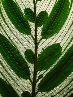 peacock plant by *omnia*, via Flickr