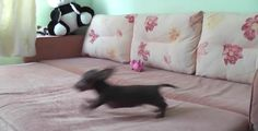 Mr. Pepper, a dachshund puppy, clearly knows how to have a good time, because he can't stop running in circles on his owner's furniture. You have to see how happy he is while making himself dizzy…