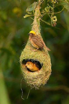 Ploceus philippinus - Baya Weaver - 黄胸织布鸟, South Asia