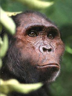 ◯ Australopithecus africanus by paleoartist Viktor Deak