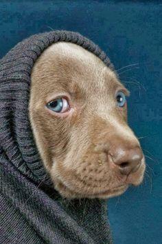 Vogue Dog · Blue eyes, grey sweater